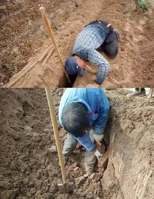 挖山药是个辛苦活
