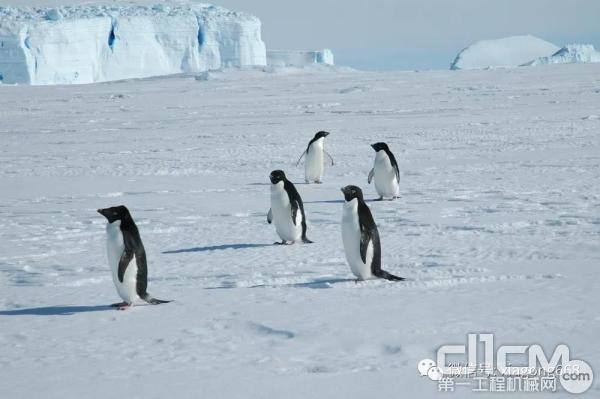 南极大陆上的企鹅