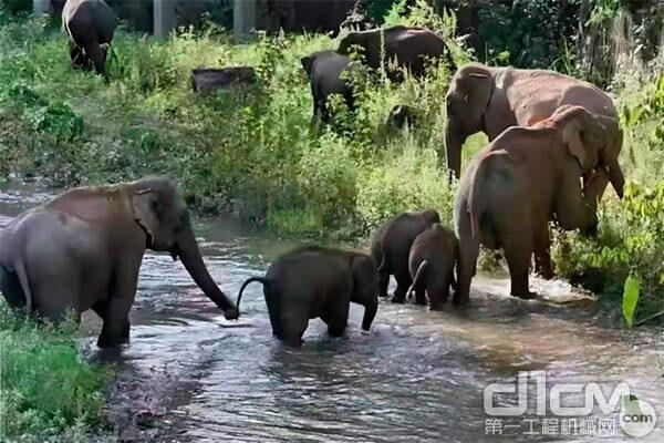 云南一路北上的15头野生亚洲象